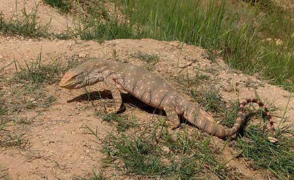Cizre'de çöl varanı bulundu