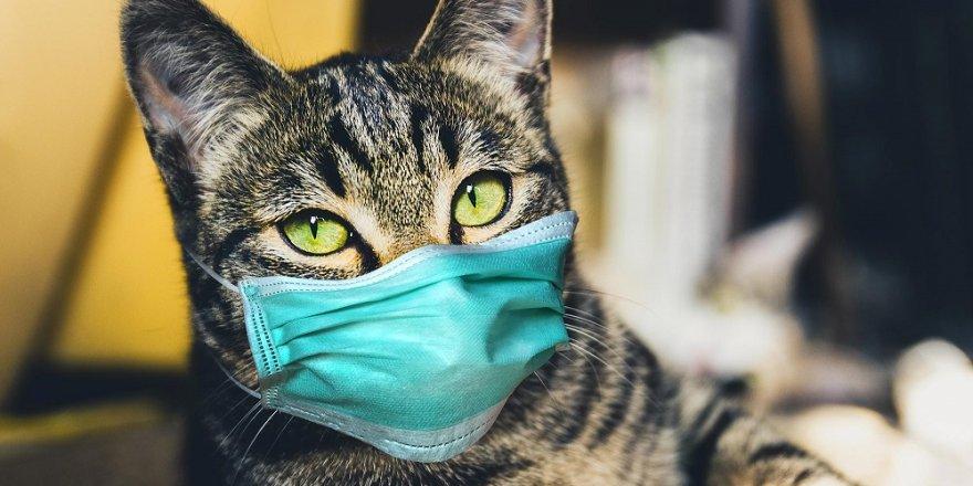 Evcil kedi, sahibinden COVID-19 kaptı!
