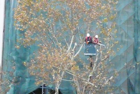 Taksimin ağaçları taşınıyor