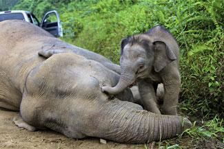 Cüce filler ölü bulundu