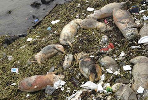 Çinde nehirde bulunan ölü domuzların sırrı çözüldü
