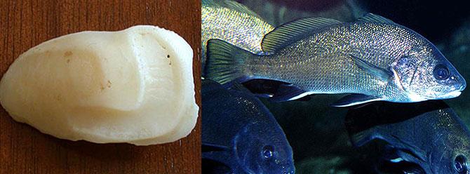 Dünyanın en bahtsız balığı