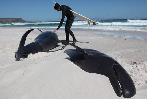 Güney Afrikada 19 balina sahile vurdu