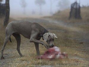 Araştırma: Evcil hayvanlara verilen çiğ etler patojen içeriyor