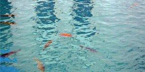 Balıklıgöle Akvaryum Balığı Bıraktılar