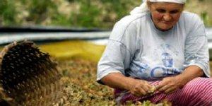 Fındık üreticisi 7 lira bekliyor
